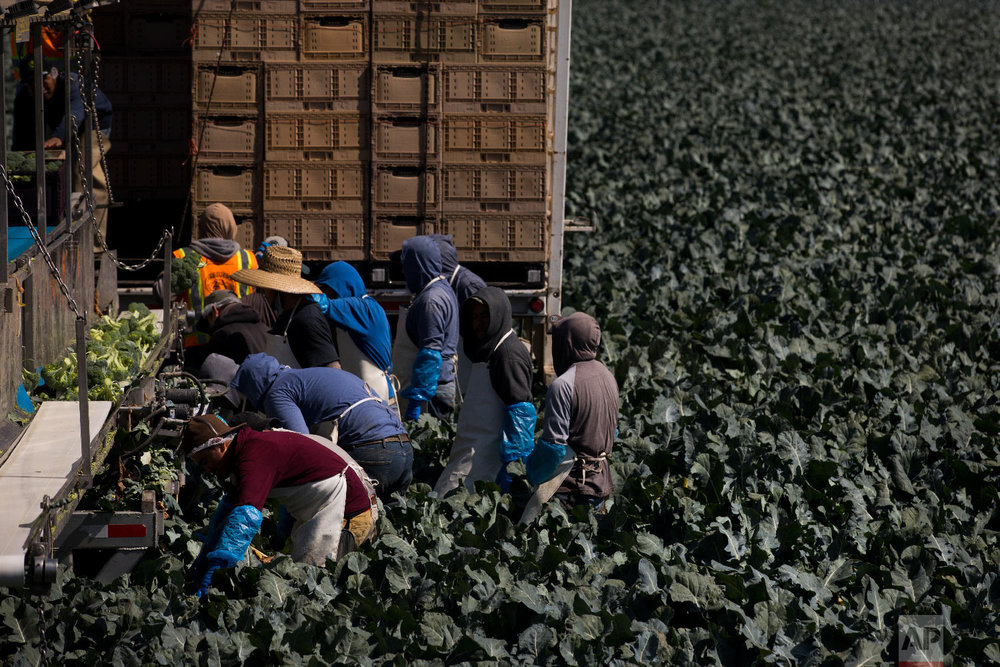 A group of farm workers pick broccoli in Salinas, Calif., Sept. 7, 2018. (AP Photo/Jae C. Hong)