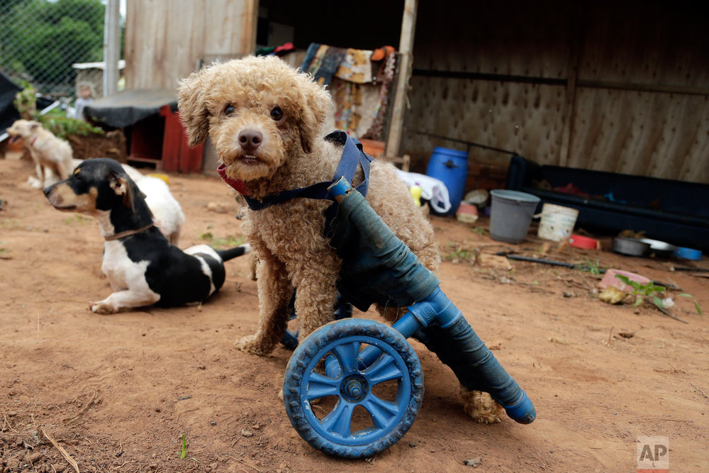 """A rescued, disabled dog equipped with a wheelchair eyes the camera at the shelter Rescaes, the Spanish acronym for Rescued With Special Needs, in Itapuami, Paraguay, Oct. 17, 2018. Veterinarian Raul Tuma says that pets without mobility """"deserve to have the cart with wheels because they can not live without being able to walk."""" (AP Photo/Jorge Saenz)"""