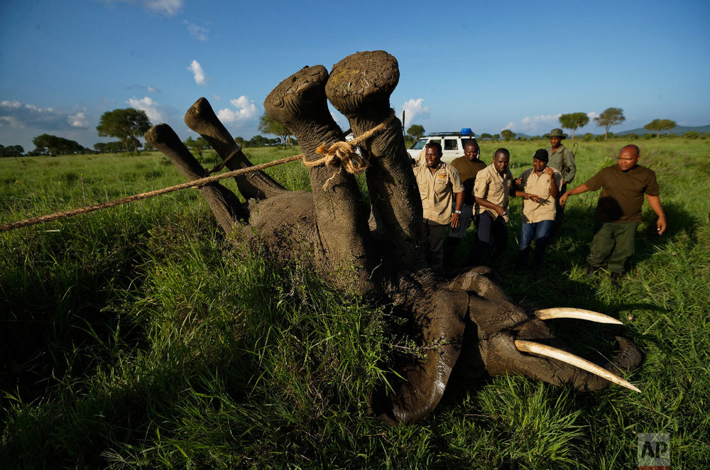 A team of wildlife veterinarians use a 4x4 vehicle and a rope to turn over a tranquilized elephant in order to attach a GPS tracking collar and remove the tranquilizer dart, in Mikumi National Park, Tanzania on March 21, 2018. (AP Photo/Ben Curtis)