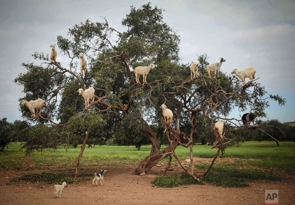 Tree-climbing goats feed on an Argania Spinosa, known as an Argan tree, in Essaouira, southwestern Morocco on April 4, 2018. (AP Photo/Mosa'ab Elshamy)