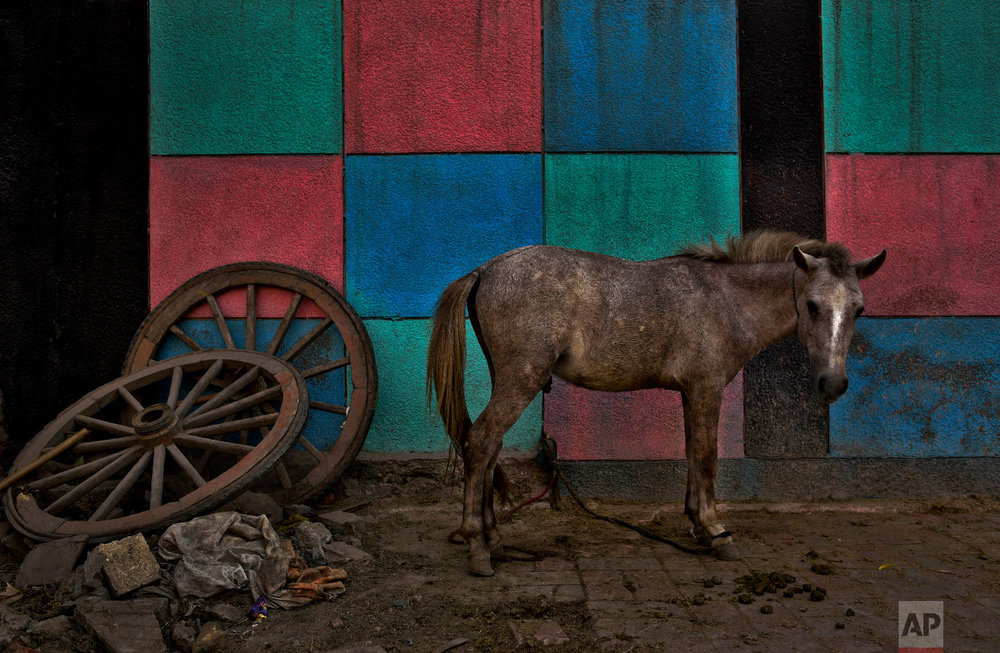 A mule stands next to color patterns painted on a school wall in New Delhi, India Sunday, Oct. 28, 2018. The animal is used for transporting construction material and other goods. (AP Photo/R S Iyer)