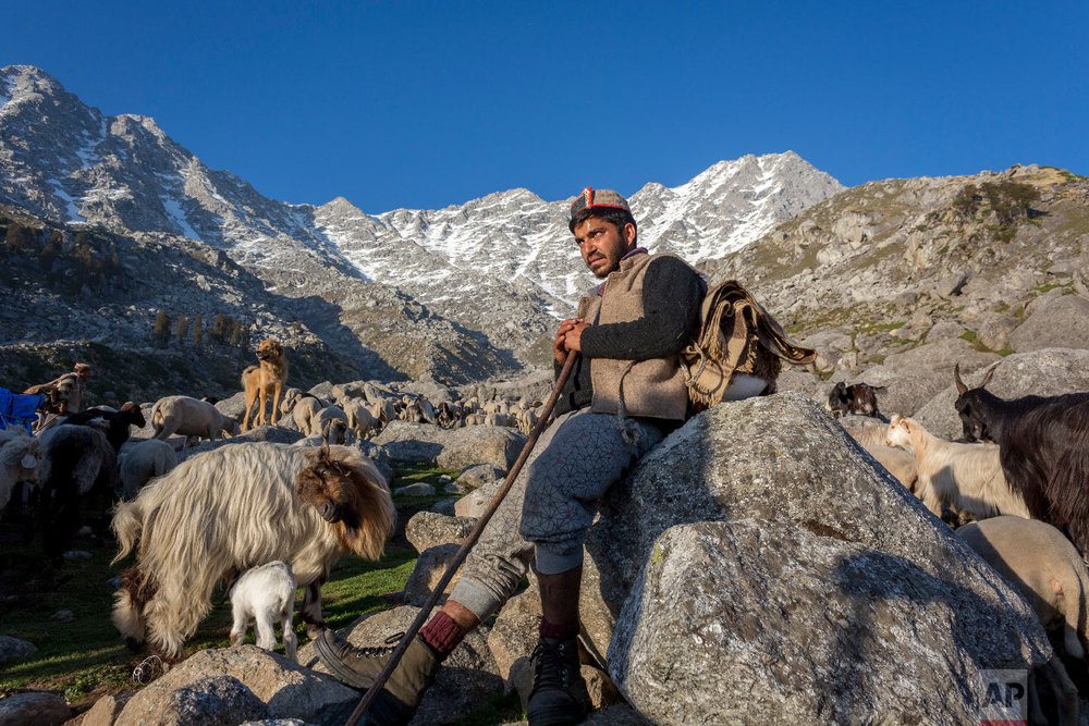A local gaddi shepherd sits with a flock of goats and sheep before climbing a steep mountain pass in search of better grazing ground in Dharmsala, India, Friday, May 11, 2018. This local way of life is slowly disappearing as the younger generation opts for easier career options with the expanding tourist economy of the mountain region. (AP Photo/Ashwini Bhatia)