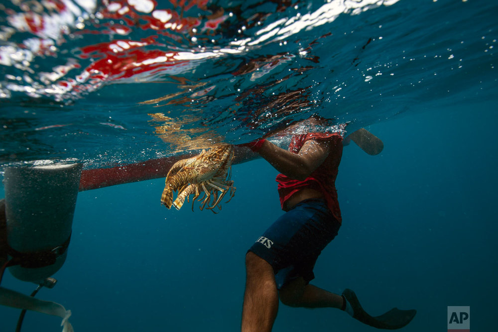 In this Sept. 9, 2018 photo, a diver holds on to his catch of lobsters during a fishing journey in the Miskito coast near Cay Savannah, Honduras. (AP Photo/Rodrigo Abd)