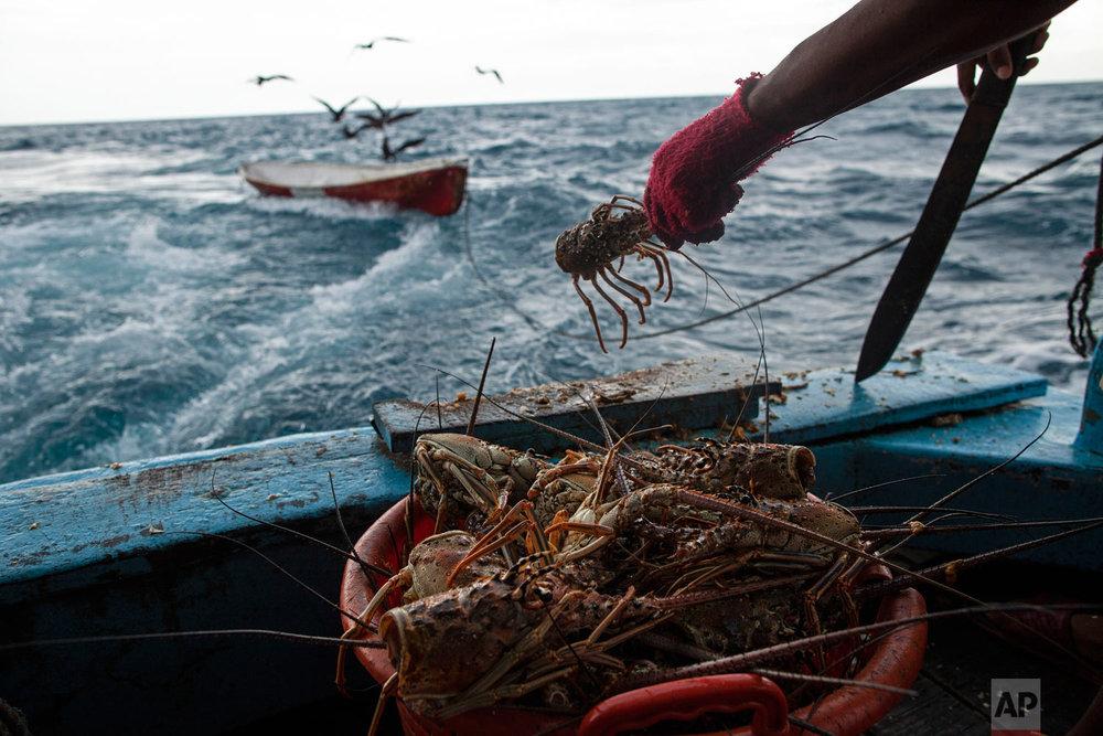 In this Sept. 9, 2018 photo, a worker cleans a batch of lobsters near Cay Savannah, Honduras. (AP Photo/Rodrigo Abd)