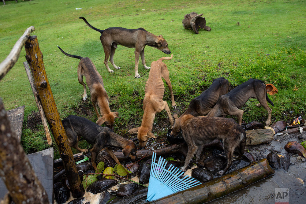 In this Sept. 2, 2018 photo, dogs eat scraps left by family and friends attending the funeral of Miskito diver Oscar Salomon Charly, in Cabo Gracias a Dios, Nicaragua.  (AP Photo/Rodrigo Abd)
