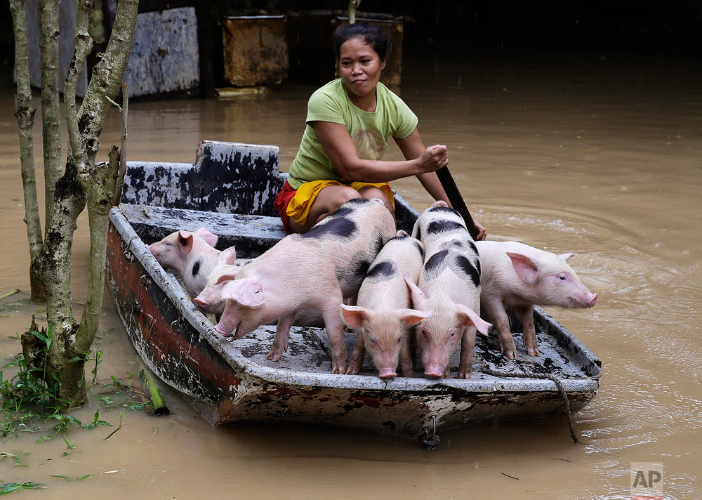 In this Friday, July 20, 2018, photo, Evangeline Garcia paddles a boat-load of piglets to safety at a flooded village in Quezon city, metropolitan Manila, Philippines. (AP Photo/Aaron Favila)