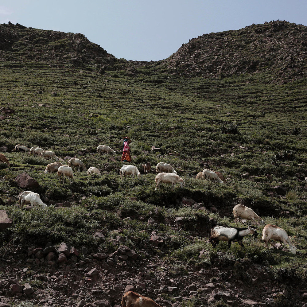 In this Aug. 3, 2018 photo, a famer leads her sheep on a mountain in Ibb, Yemen. (AP Photo/Nariman El-Mofty)