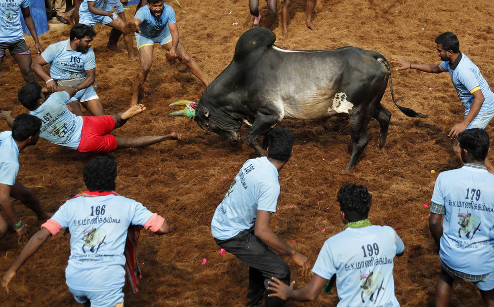 "A bull charges towards participants in a traditional Jallikattu bull-taming festival in the village of Allanganallur, near Madurai, Tamil Nadu state, India, on Thursday, Jan. 17, 2019. Jallikattu involves releasing a bull into a crowd of people who are expected to hang on to the animal's hump for a stipulated distance or hold on to the hump for a minimum of three jumps made by the bull. The sport, performed during the four-day ""Pongal"" or winter harvest festival, is popular in Tamil Nadu. (AP Photo/Aijaz Rahi)"