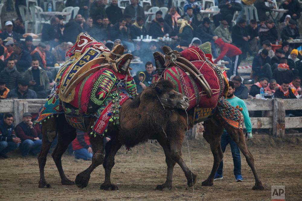 Camels bearing elaborately decorated saddles, wrestle during Turkey's largest camel wrestling festival in the Aegean town of Selcuk, Turkey, Sunday, Jan. 20, 2019.  (AP Photo/Lefteris Pitarakis)