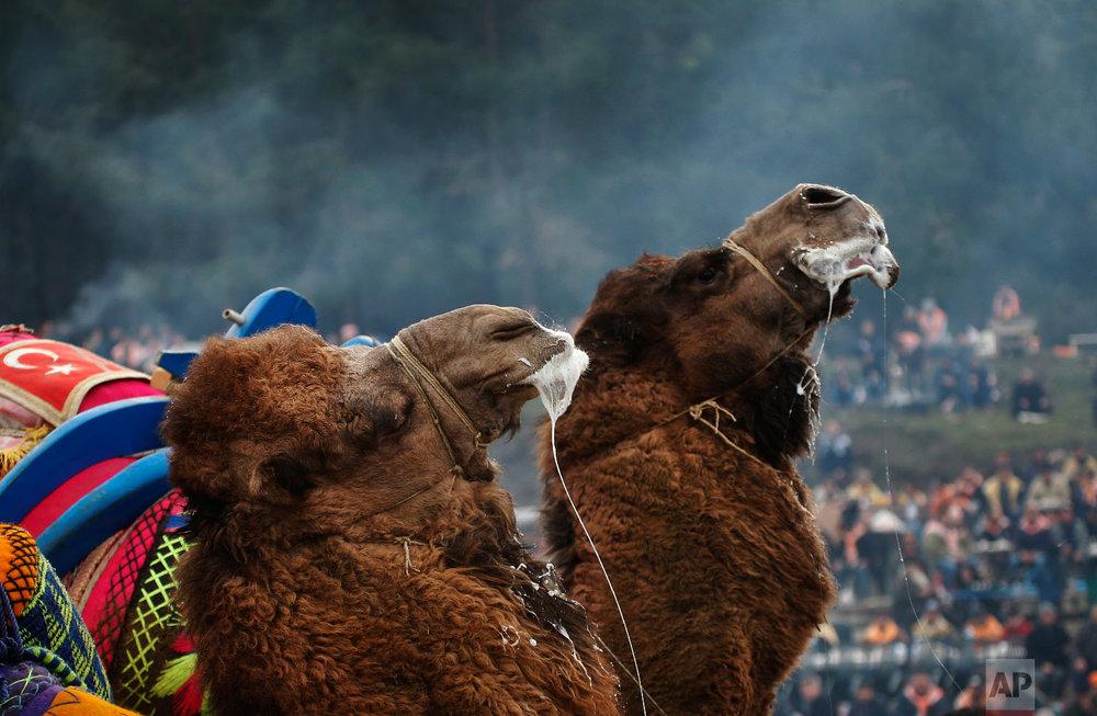 Camels wrestle during Turkey's largest camel wrestling festival in the Aegean town of Selcuk, Turkey, Sunday, Jan. 20, 2019. (AP Photo/Lefteris Pitarakis)