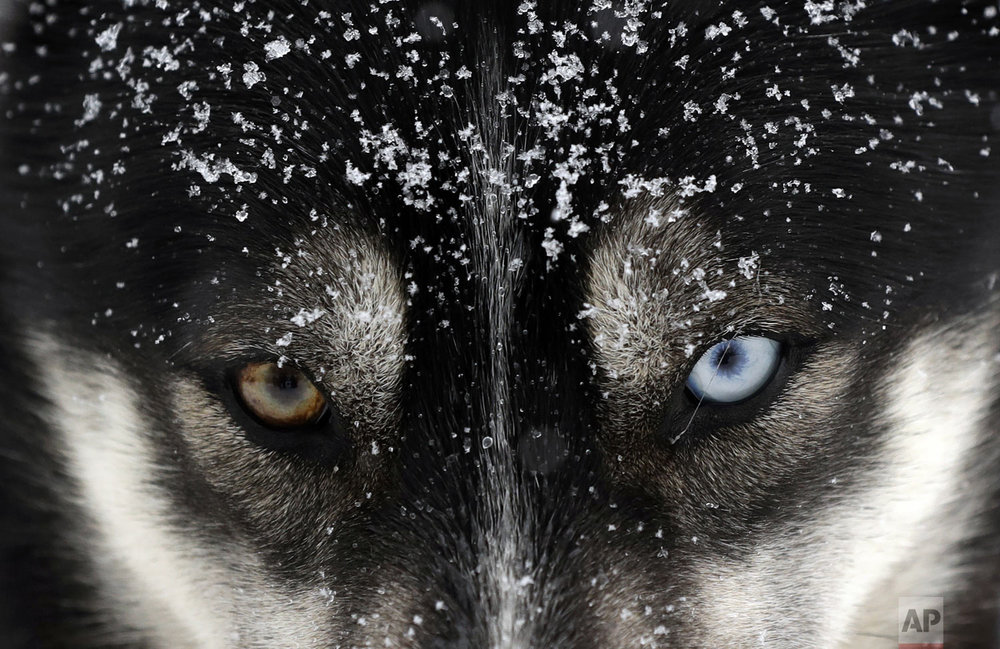 A dog waits for the start of the Sedivackuv Long dog sled race near the village of Destne v Orlicky Horach, Czech Republic, on Friday, Jan. 25, 2019. (AP Photo/Petr David Josek)