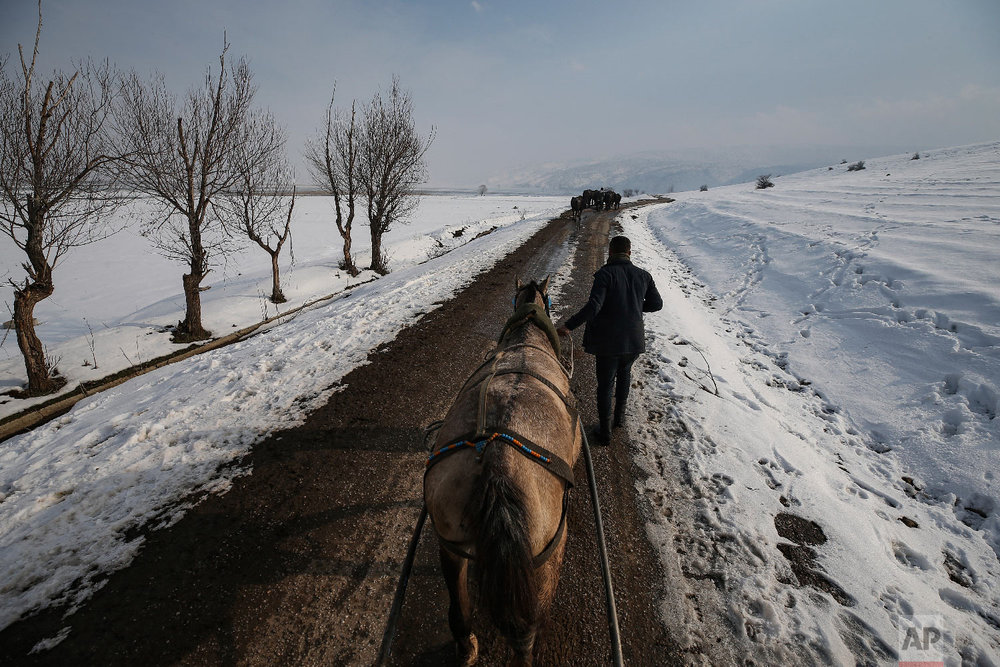 Berkan Toren, 20, returns to his village of Budakli, in the mountainous Bitlis province of eastern Turkey, after walking his water buffaloes to a bath in a nearby hot spring, Thursday, Jan. 24, 2019. (AP Photo/Emrah Gurel)