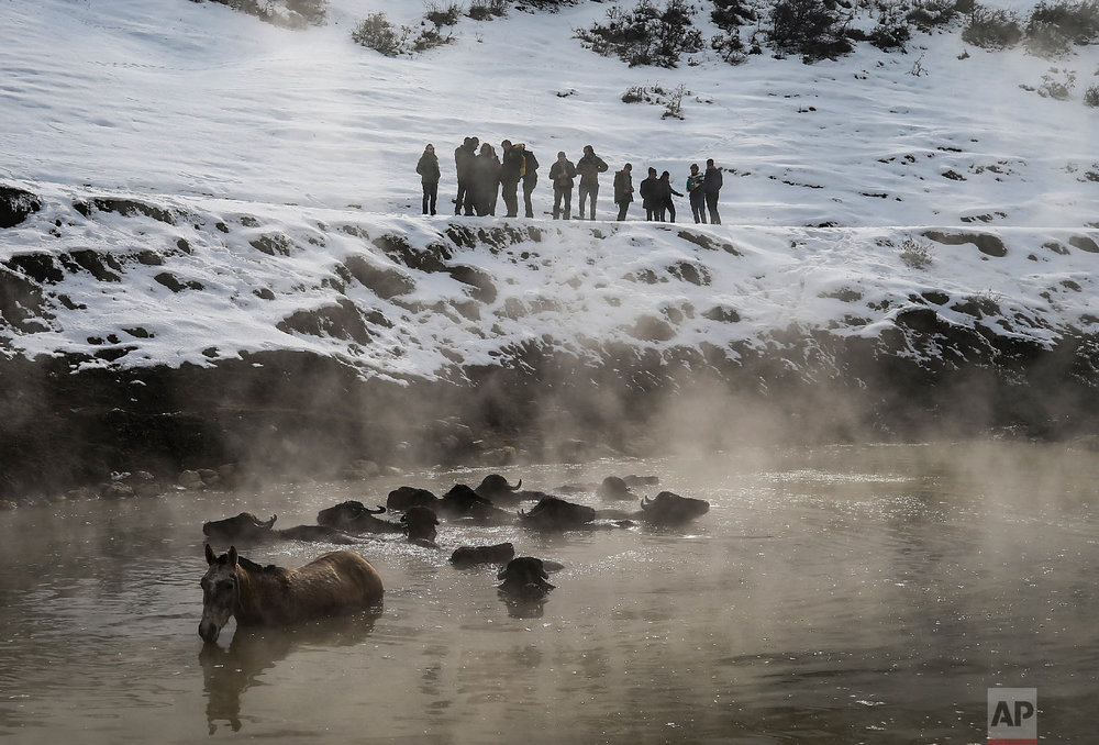 Water buffalos bath in a hot spring near the village of Budakli, in the mountainous Bitlis province of eastern Turkey, Thursday, Jan. 24, 2019. (AP Photo/Emrah Gurel)