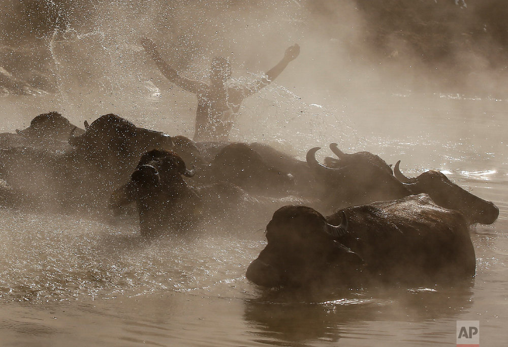Berkan Toren, 20, enjoys a hot spring along with his water buffaloes near the village of Budakli, in the mountainous Bitlis province of eastern Turkey, Thursday, Jan. 24, 2019. (AP Photo/Emrah Gurel)