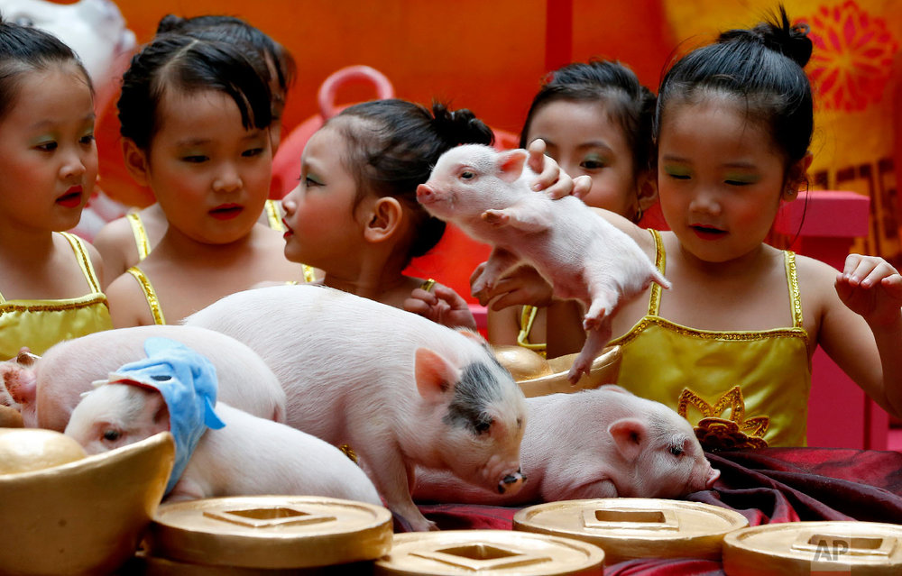 Children play with live Teacup pigs, a rare pet in the country, ahead of the Lunar New Year celebrations in Chinatown area of Manila, Philippines, Friday, Feb. 1, 2019. (AP Photo/Bullit Marquez)