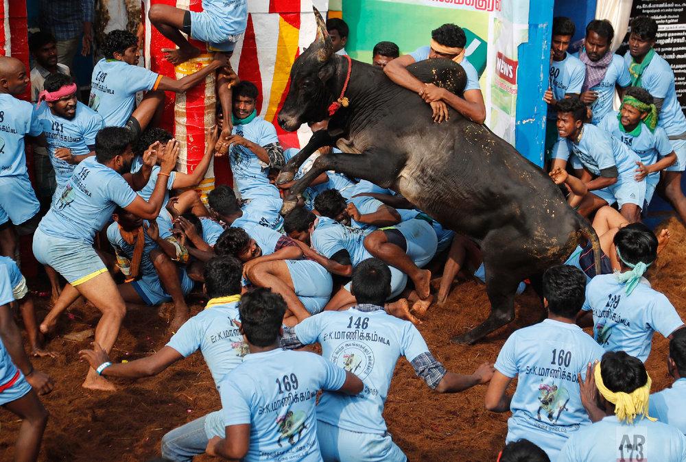 Indian tamers react as a fellow tamer tries to control a charging bull during a traditional bull-taming festival called Jallikattu, in the village of Allanganallur, near Madurai, Tamil Nadu state, India, Thursday, Jan. 17, 2019. (AP Photo/Aijaz Rahi)