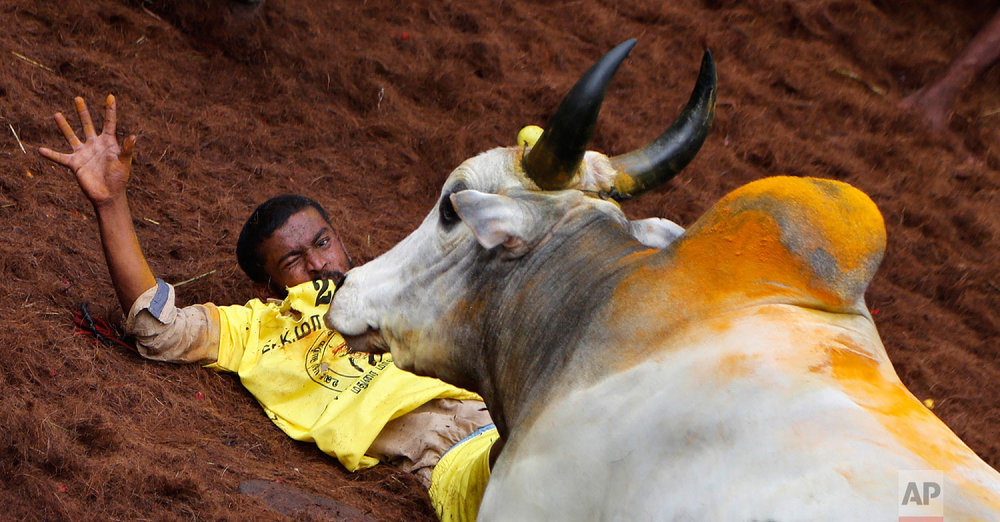 An Indian tamer reacts as a bull charges towards him during a traditional bull-taming festival called Jallikattu, in the village of Allanganallur, near Madurai, Tamil Nadu state, India, Thursday, Jan. 17, 2019. (AP Photo/Aijaz Rahi)