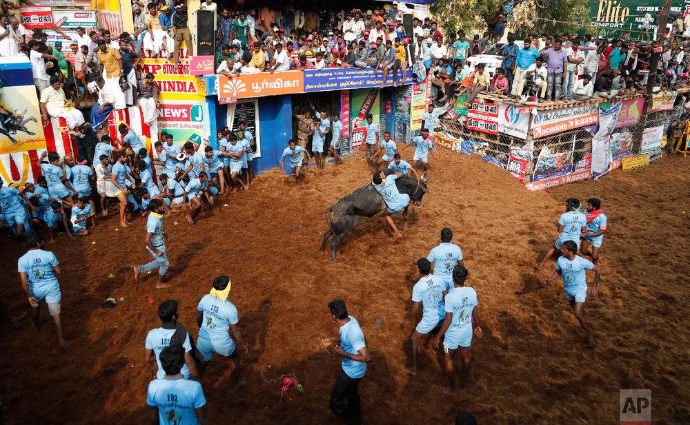 An Indian tamer tries to control a bull during a traditional bull-taming festival called Jallikattu, in the village of Allanganallur, near Madurai, Tamil Nadu state, India, Thursday, Jan. 17, 2019. (AP Photo/Aijaz Rahi)