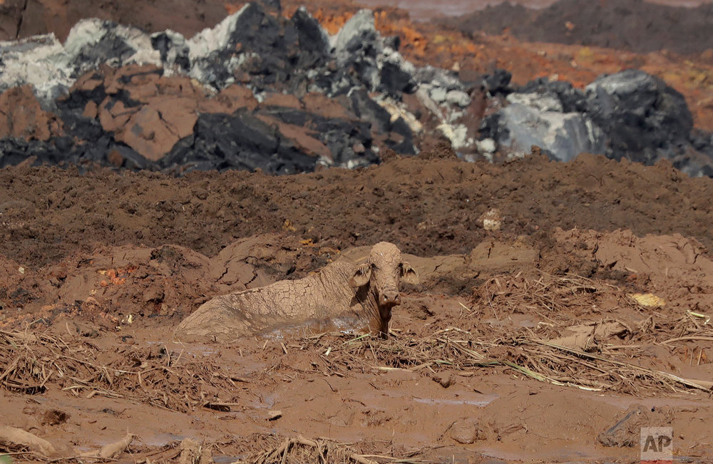 A cow is stuck in the mud that flooded the area after a dam collapse in Brumadinho, Brazil, Jan. 27, 2019. (AP Photo/Andre Penner)