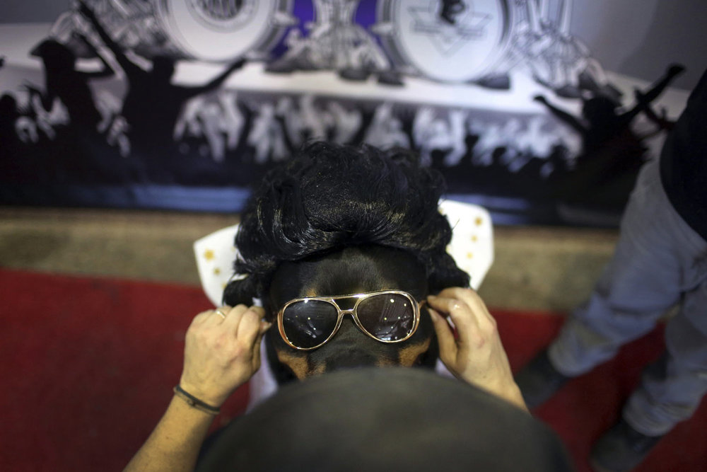 """Talos, a Rottweiler, is dressed with a pair of sunglasses to look like Elvis Presley during the """"meet the breeds"""" companion event to the Westminster Kennel Club Dog Show, Saturday, Feb. 9, 2019, in New York. (AP Photo/Wong Maye-E)"""