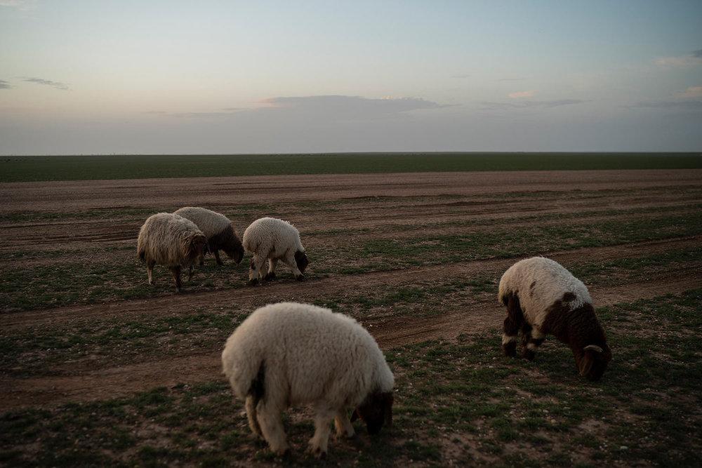 Sheep eat grass in the desert near Hajin, Syria, Saturday, Feb. 16, 2019. (AP Photo/Felipe Dana)