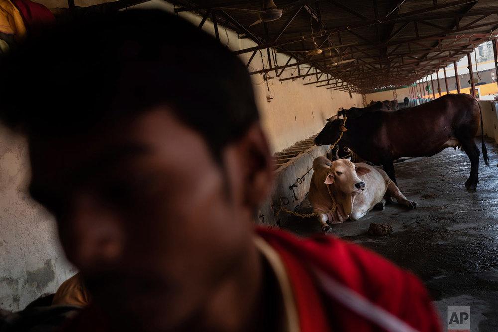 Cows rest in a barn at Baghambari Math Gaddi in Prayagraj, India, Dec. 12, 2018. (AP Photo/Bernat Armangue)