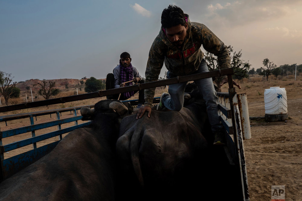 Muslim cattle traders load buffaloes into a pickup after being challenged by cow vigilantes on the outskirts of Jaipur, Rajasthan, India, Jan. 25, 2019. (AP Photo/Bernat Armangue)