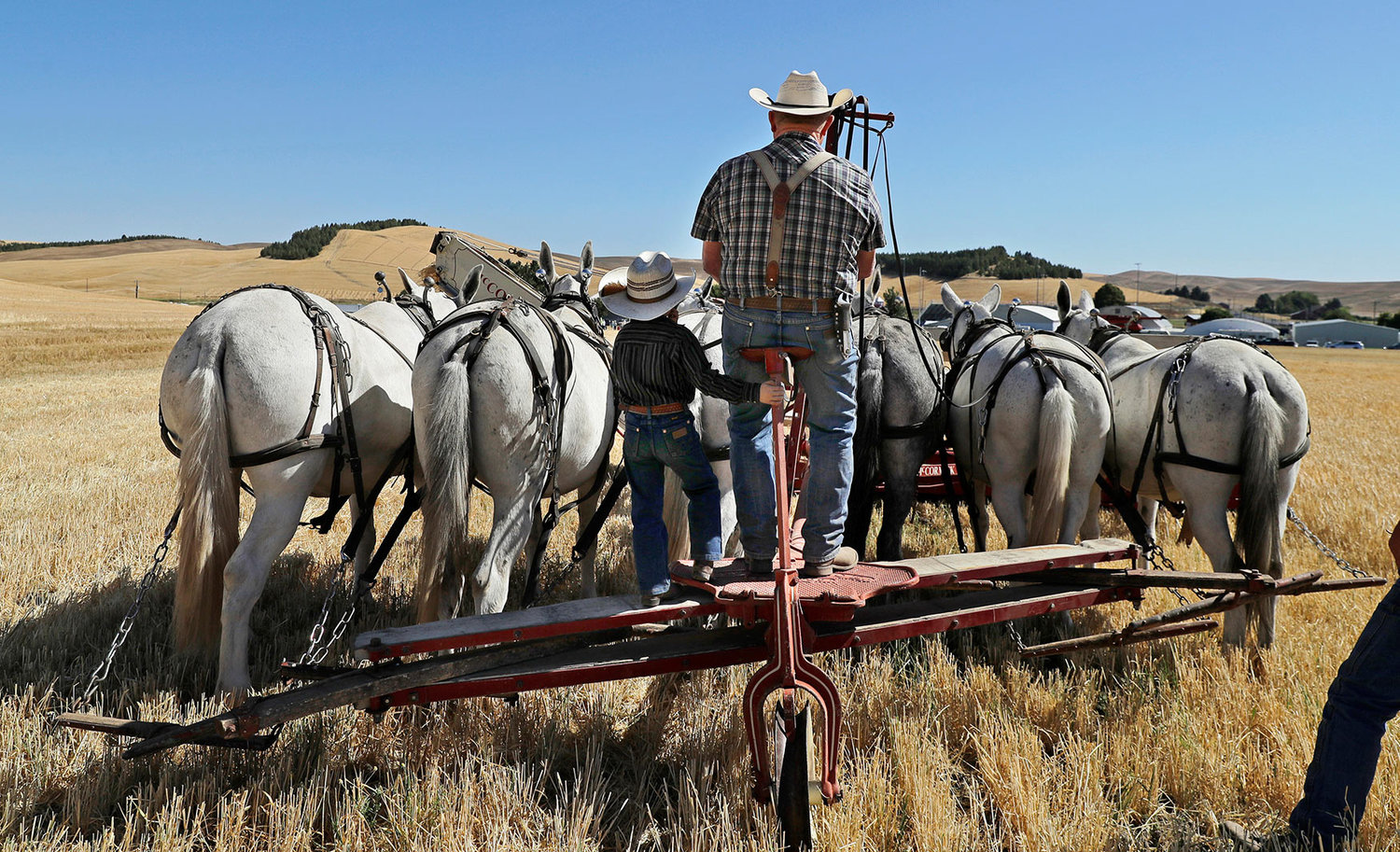 Old-fashioned harvest: Preserving past using horses, mules