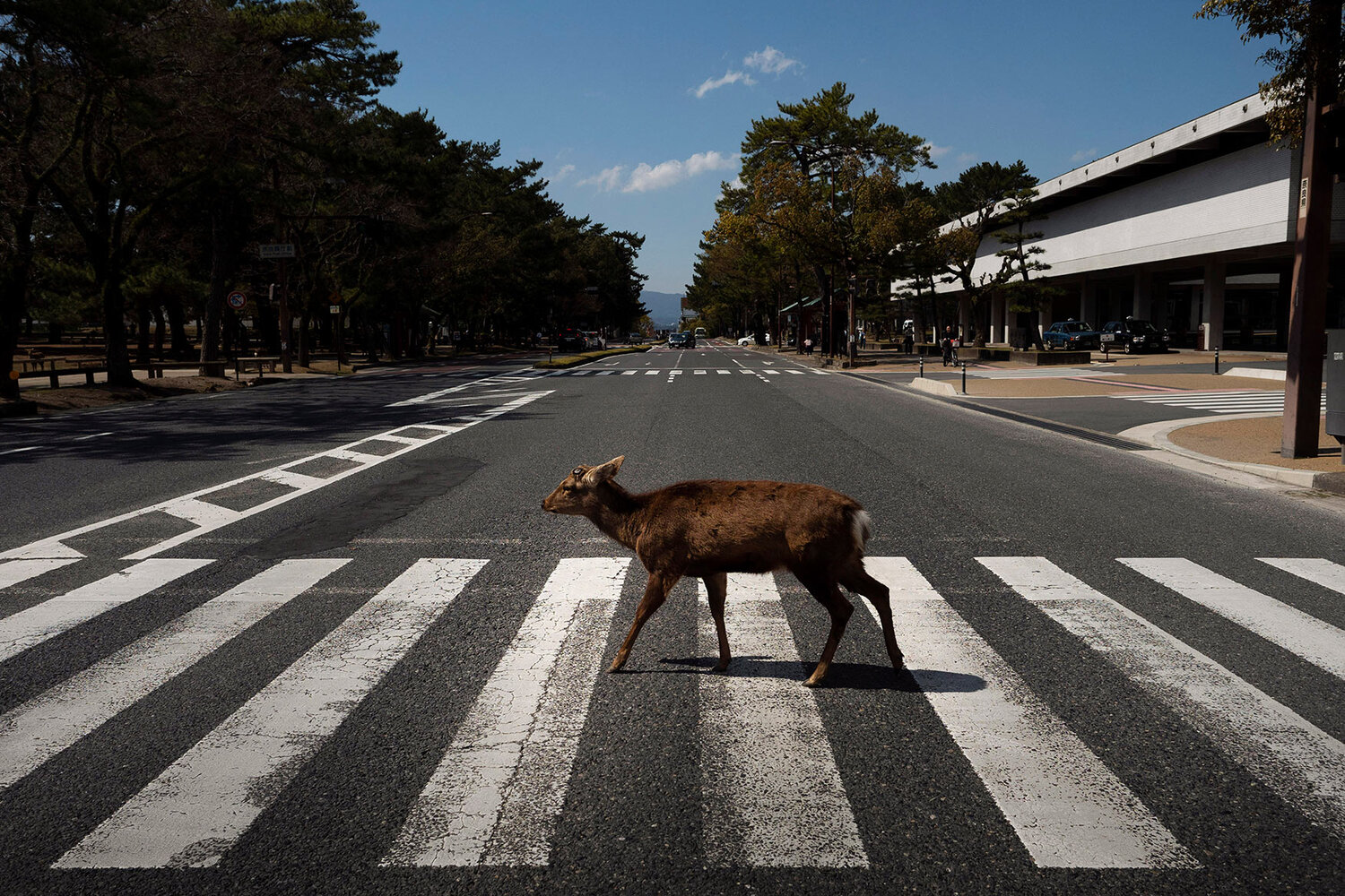 Oh, deer! Treasured animals wander Nara streets