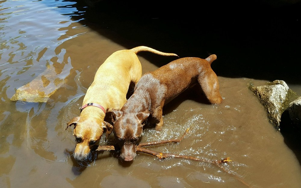 Daisy and Duke playing with a stick together in the river and loving nature as much as their Mom and Dad!