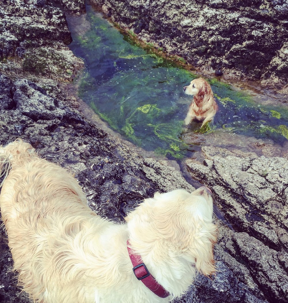 golden_retrievers_hollieandmax_rock_causeway_antrim_coast_ni_explorer_niexplorer_northern_ireland_blog.jpg
