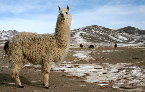 Alpaca1.jpg