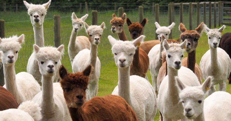 Alpaca960x505.jpg