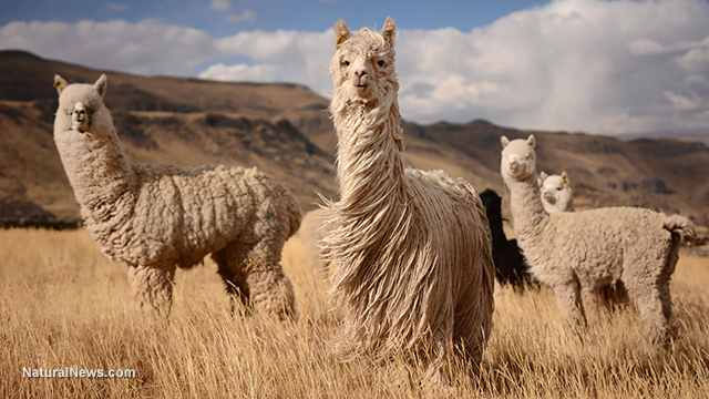 Alpaca-Andes-Mountains-Peru.jpg