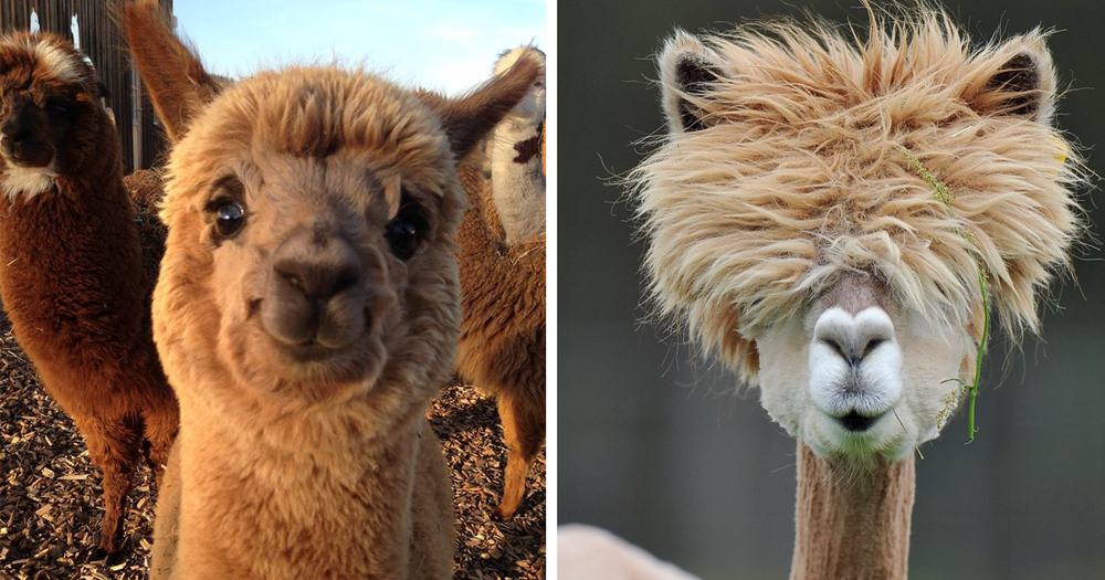 cute-funny-alpacas-fb3.png