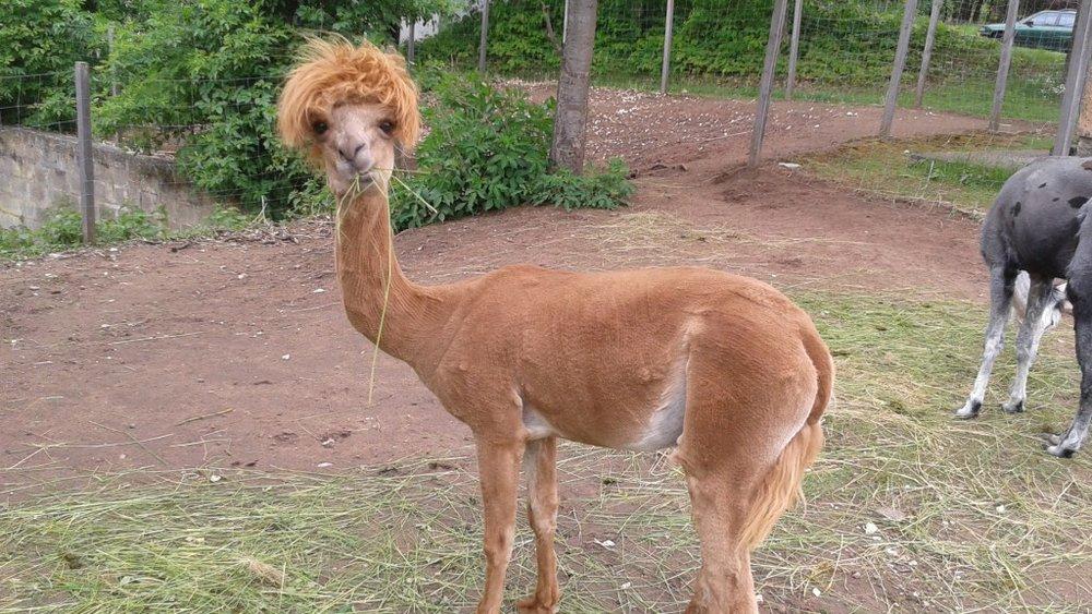 9_Alpacas-1024x576.jpg