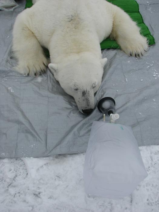 This anesthetized male lies by a breath bag. The grey mat he lies on allows researchers to take Body Mass Index measurements as well.