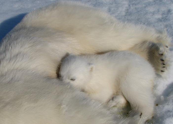 "A female encircles her cub as they sleep off the affects of anesthesia. ""Generally the anesthesia we use does not wear off in a sudden fashion, and we monitor animals closely during captures,"" Whiteman explained in an email to us. ""The cubs get a lights dose, so by the time we finish up they usually have found their way over to their mom, and are waiting for her to wake up."""