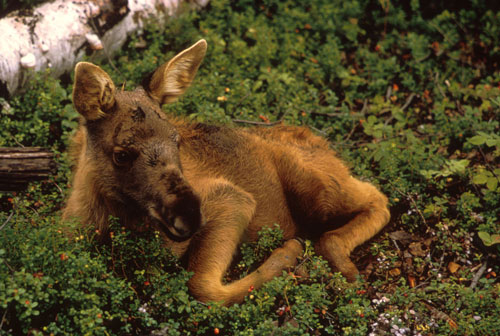 Hungry bears find that moose calves, like this two-week-old, make a nice meal. Photo: Leroy Anderson, U.S. Fish & Wildlife Service