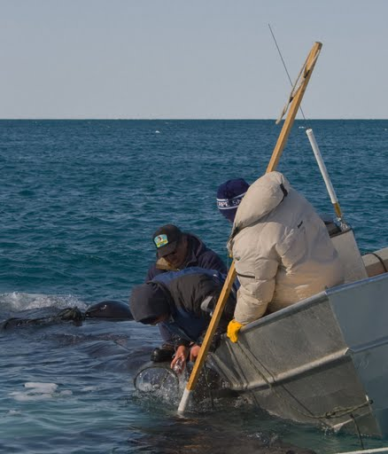 Barrow hunters prepare to bring in a whale. Results from the research may help scientists predict how climate change may affect the Arctic shelf ecosystem--and may in turn impact subsistence whaling by Inuit living in the area. Source: Winter reflections blog