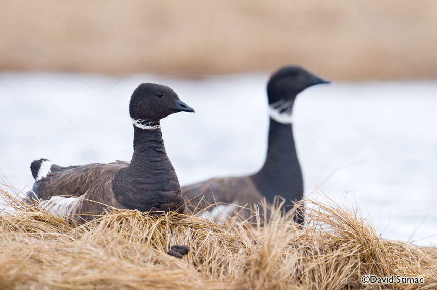 A nesting pair of Brant geese. Photo by David Stimac