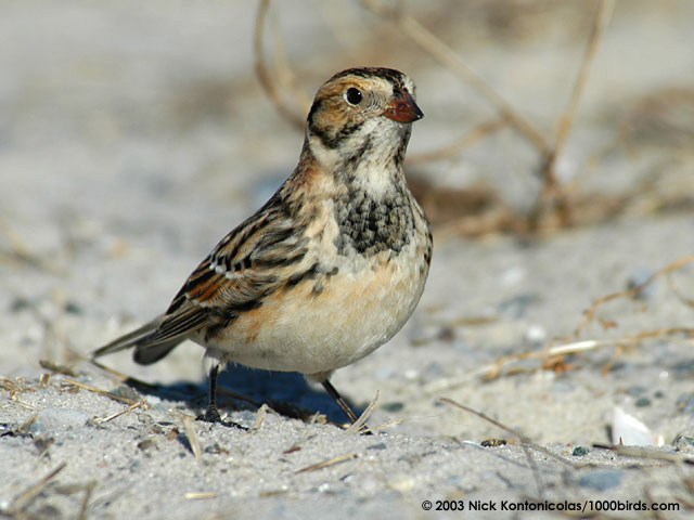 Lapland Longspur. Photo at 1000birds.com/gallery—Lapland-Longspur.htm