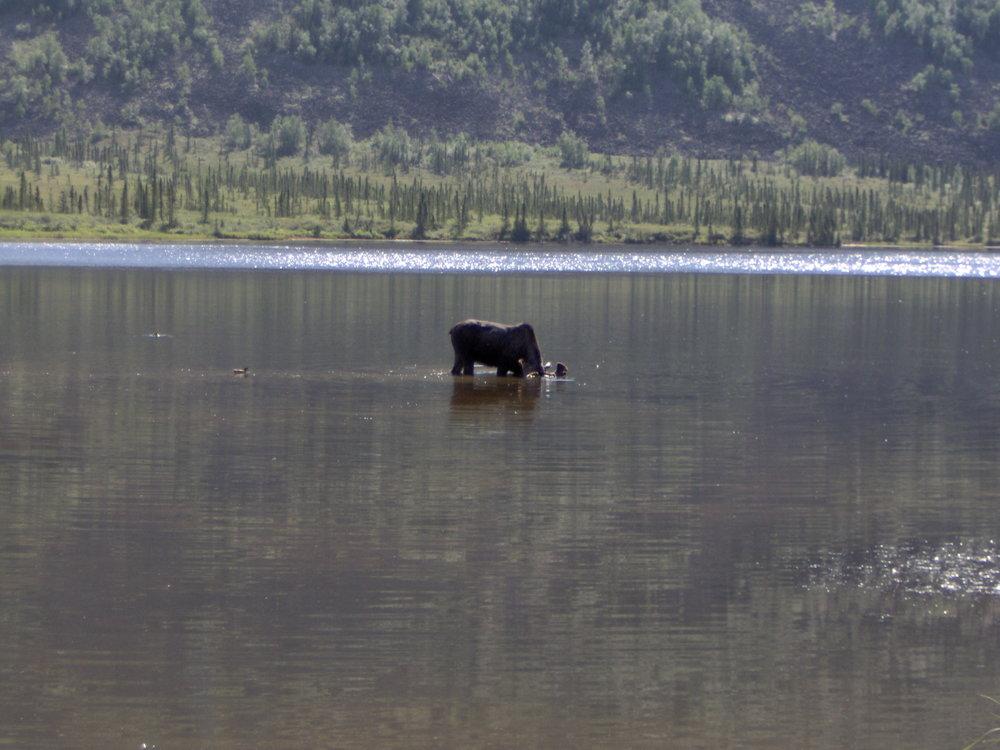 Moose taking a dip in Grayling Lake.