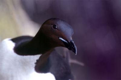 One of the Murres observed by the scientists. Photo courtesy PolarTREC