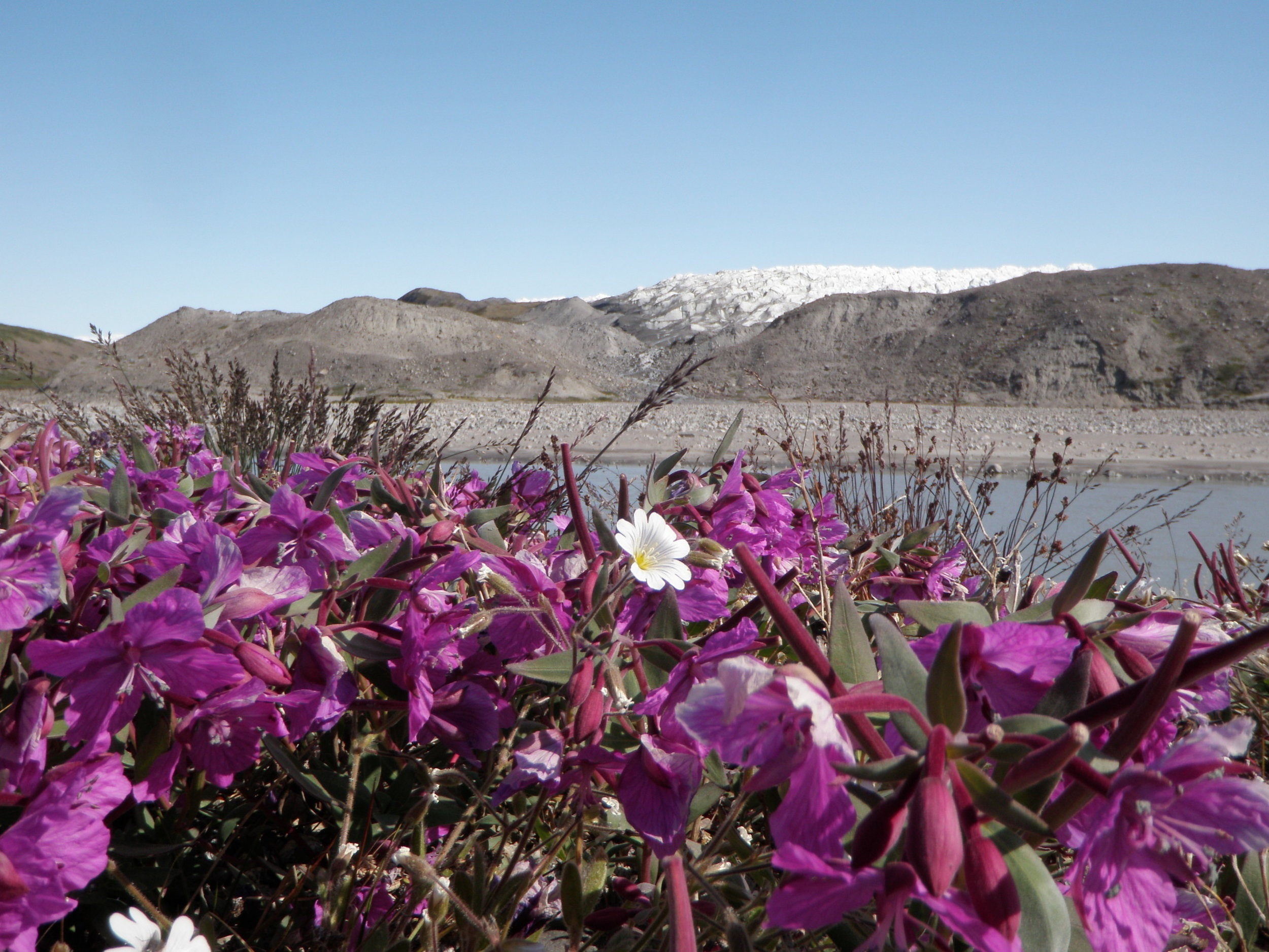 The IGERT team discovered there's more to Greenland than ice--like flowers blooming near Kangerluusuaq, for instance. Photo by Simone Whitecloud.