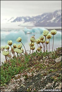 Global warming may have adverse effects on Arctic plants. Photo courtesy British Broadcasting Corporation.