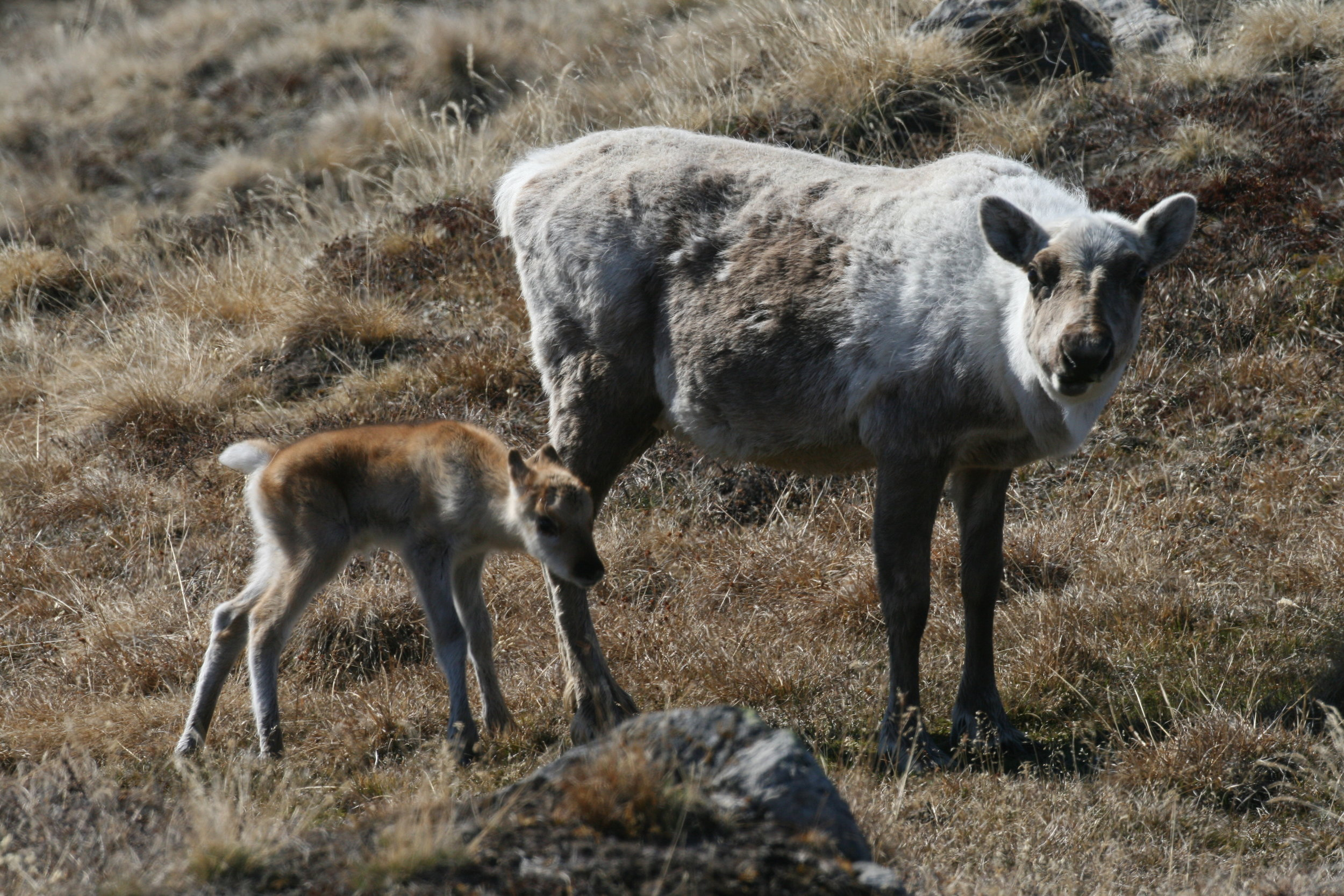 A caribou cow and calf in southern Greenland. Changing seasonality is not good news for the breed, a new article says. Photo: Eric Post. Click the picture to visit his lab.