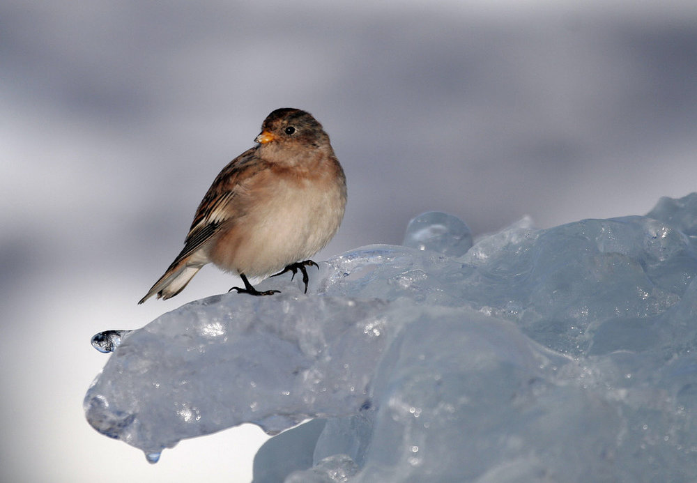Ed Stockard Small Bird on Melting Ice