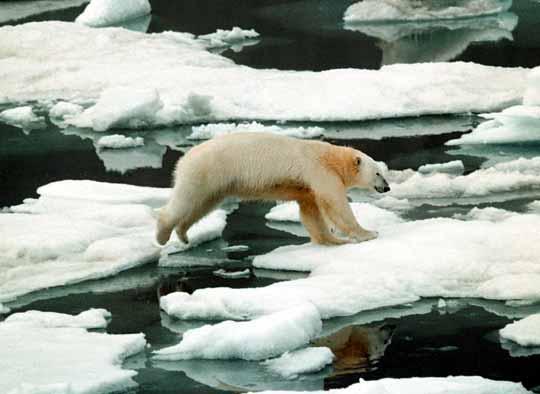 2006_seaice_polarbear.jpg