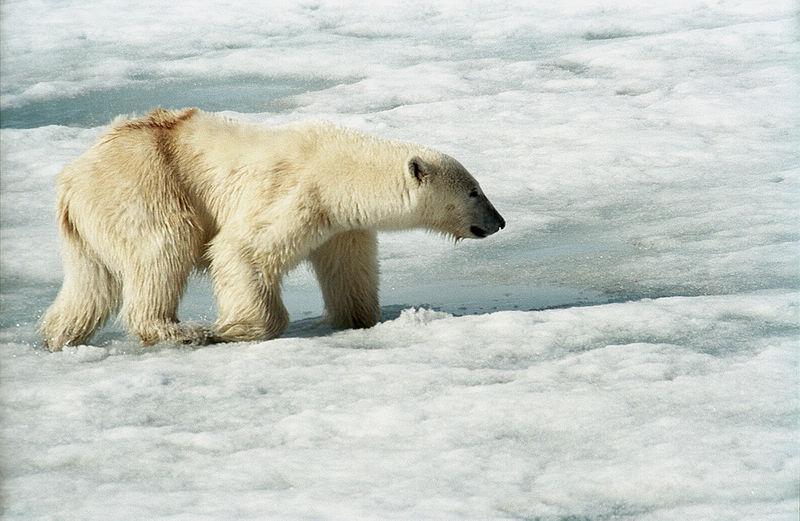 800px-polar_bear_js_2.jpg